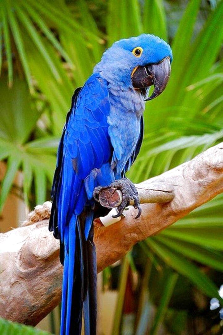 Blauer Ara Papagei gebraucht kaufen! Nur 4 St. bis -70%
