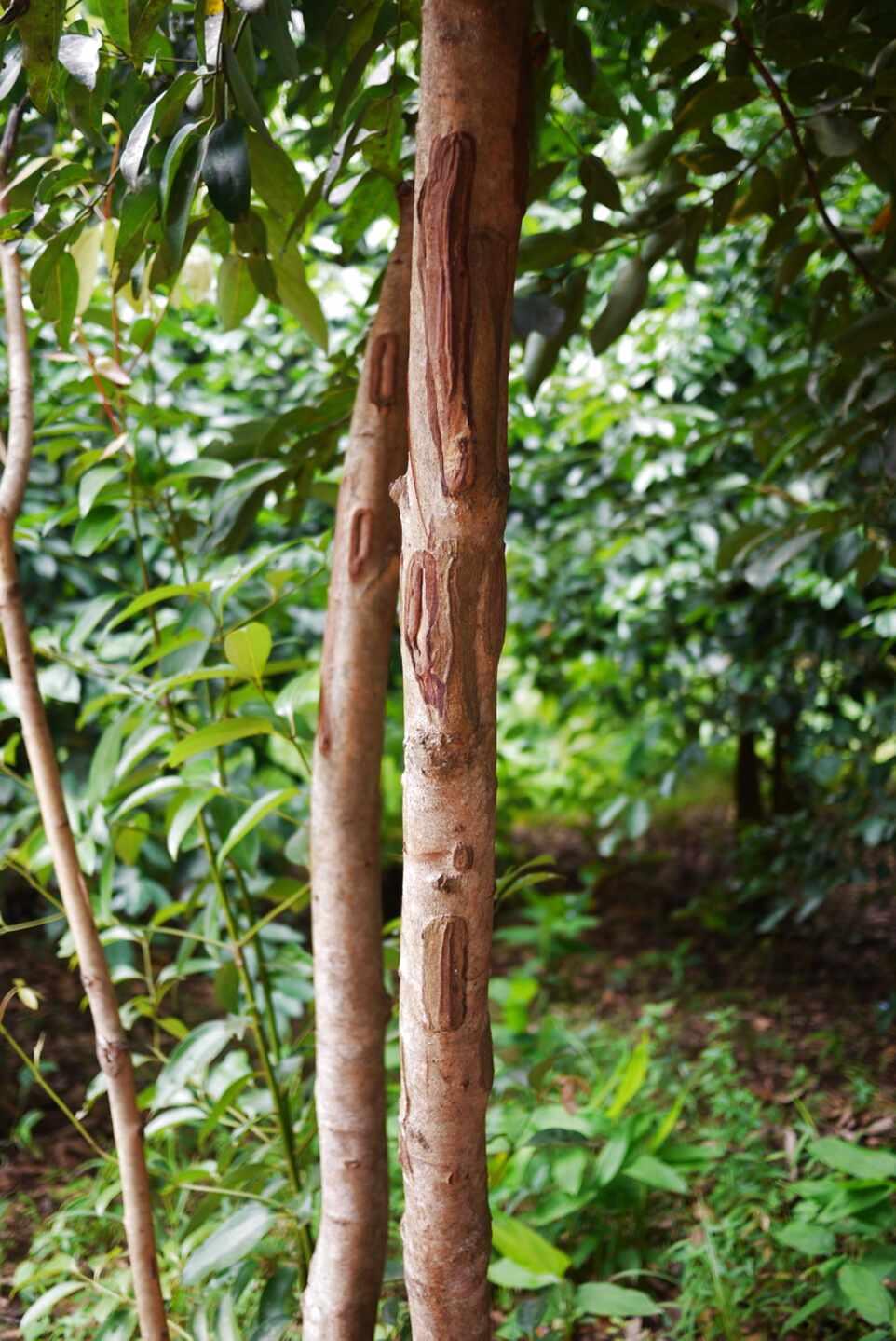 Zimtbaum Gebraucht Kaufen Nur Noch 3 St Bis 60 Gunstiger